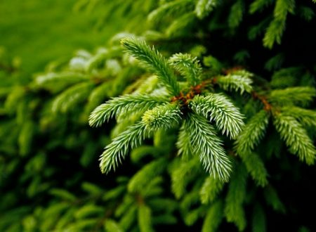 Evergreen Trees For Sale: All You Need To Know