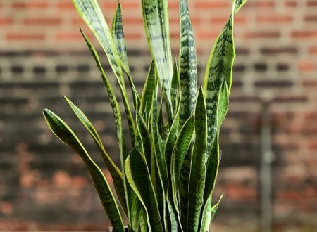 Snake Plant – Now That's a Reptilian-like Creation Suitable for One's Home